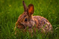 Kanin som kopplar av i gräset Royaltyfria Bilder