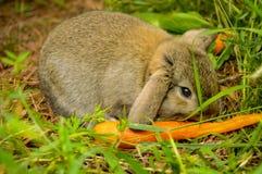 Kanin som äter en morot Arkivbilder