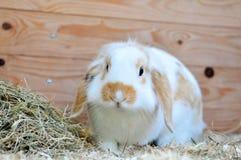 Kaninchen 3 stockbild