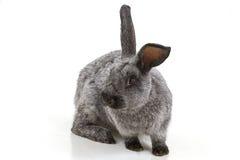 Kaninchen Lizenzfreies Stockbild