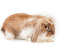 Kaninchen-Angora lokalisiert auf weißem Hintergrund Lizenzfreie Stockbilder