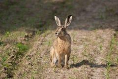 Kaninchen auf dem Gebiet Lizenzfreies Stockbild