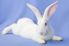 Kaninchen auf einem blauen Hintergrund Stockfoto