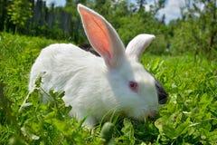 Kaninchen auf grünem Gras Stockbild
