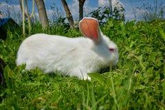 Kaninchen auf grünem Gras Lizenzfreies Stockfoto