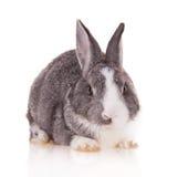 Kaninchen auf weißem Hintergrund lizenzfreies stockfoto