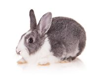 Kaninchen auf weißem Hintergrund stockfoto
