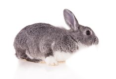 Kaninchen auf weißem Hintergrund lizenzfreies stockbild