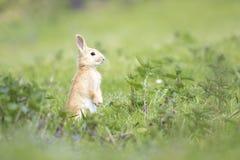 Kaninchen auf Wiese Stockbild