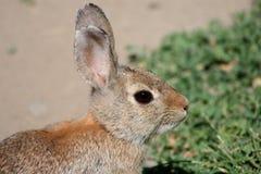 Kaninchen-Auge Stockbild