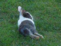 Kaninchen, das auf einem grünen Gras sich entspannt Stadt Budva, Montenegro stockfotografie