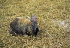 Kaninchen, das auf Stroh sitzt Stockfoto
