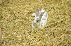 Kaninchen, das auf Stroh sitzt Stockbilder