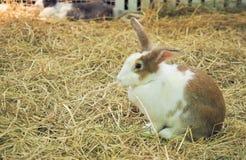 Kaninchen, das auf Stroh sitzt Stockbild