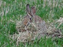 Kaninchen, das ein Nest errichtet Stockfotos