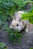 Kaninchen, das Fenchel kaut Stockbild