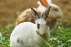 Kaninchen, das Gras isst Stockfoto