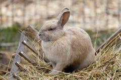 Kaninchen, das Heu isst Stockbild