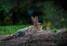 Kaninchen, das im Schmutz niederlegt lizenzfreies stockbild