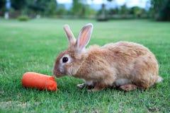Kaninchen, das Karotte isst stockbild