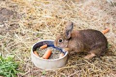 Kaninchen, das Karotte von der Lebensmittelschüssel isst Stockbild