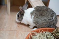 Kaninchen, das Karotten isst lizenzfreie stockfotografie