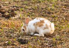 Kaninchen, das nach Nahrung sucht Lizenzfreie Stockfotos