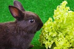 Kaninchen, das Salat isst Lizenzfreie Stockfotos
