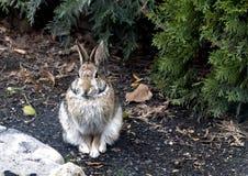 Kaninchen in der Stadt. Stockbild
