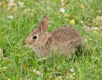 Kaninchen des östlichen Waldkaninchens Stockbild