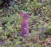 Kaninchen des östlichen Waldkaninchens Stockfoto