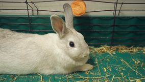 Kaninchen in einem Käfig stock footage