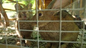 Kaninchen in einem Zoo in einem Käfig stock video