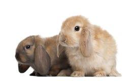 Kaninchen gegen weißen Hintergrund Stockbilder