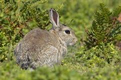 Kaninchen im Adlerfarn Stockbild