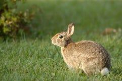 Kaninchen im Garten stockfotografie
