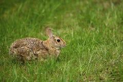 Kaninchen im Gras 1 Lizenzfreie Stockfotos