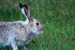 Kaninchen im Gras Lizenzfreie Stockfotografie