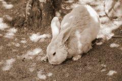 Kaninchen im Sepia-Ton Lizenzfreie Stockbilder
