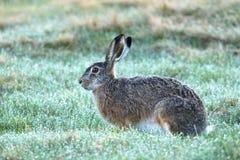 Kaninchen Lepus europaeus Stockfoto