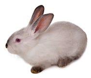 Kaninchen lokalisiert auf einem weißen Hintergrund. Lizenzfreie Stockfotografie