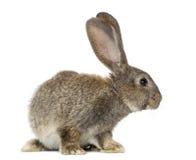 Kaninchen, lokalisiert auf Weiß Stockfoto