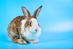 Kaninchen mit den braunen und weißen Haaren sitzen auf blauem Hintergrund mit Kopienraum lizenzfreie stockbilder