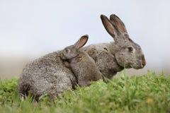 Kaninchen mit einem kleinen Kaninchen Lizenzfreie Stockfotografie