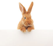 Kaninchen mit freiem Raum Stockbilder