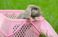 Kaninchen mit Hängeohren lizenzfreie stockbilder