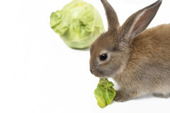 Kaninchen mit Kohl Stockfotografie