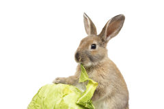 Kaninchen mit Kohl Stockfotos