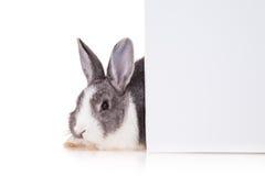 Kaninchen mit Leerbeleg auf weißem Hintergrund lizenzfreies stockfoto