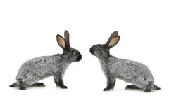 Kaninchen mit zwei Graun Stockbild